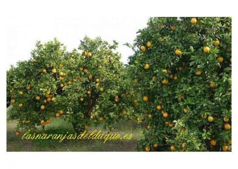 Las naranjas del duque: Naranjas de Valencia